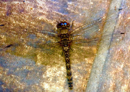 Dragonfly by Kirk McConnell