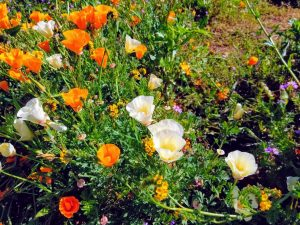 wildflowers at Chino Hills State park