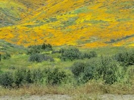 poppies viewed from I-15 in Walker Canyon
