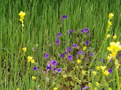 Canterbury Bells and Mustard